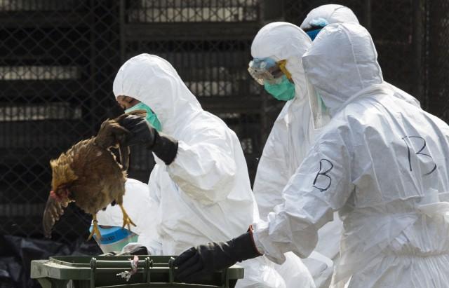 La-grippe-aviaire-est-de-retour-en-Europe